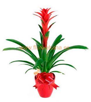 Planta bromelia con macetero