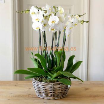 Cesta planta de orquideas