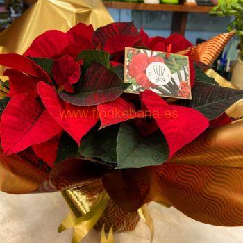 Planta de flor de pascua con macetero